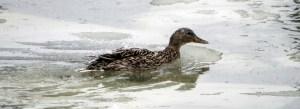 41113 - hen mallard red river ducks