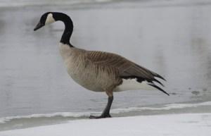 41313 - goose 2