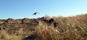 41513 - pheasant flying