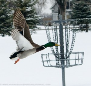 This mallard was trying to get a little frisbee golf in before the snow melted.
