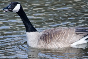 41913 - Red River goose