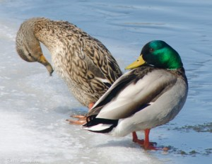 41913 - Red River mallard pair ice