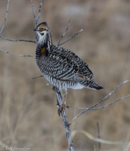 42513 - prairie chicken in the tree