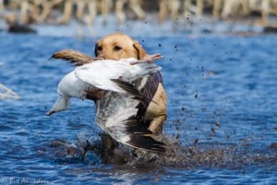 42913 - mika snow goose ret water 3