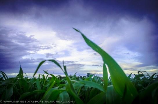 62613 - corn sky