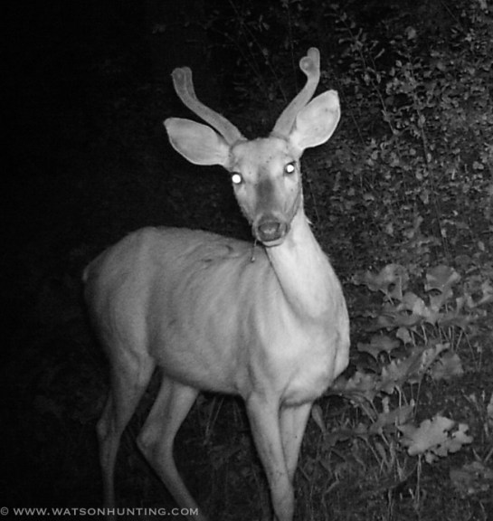 72913 - trail cam buck