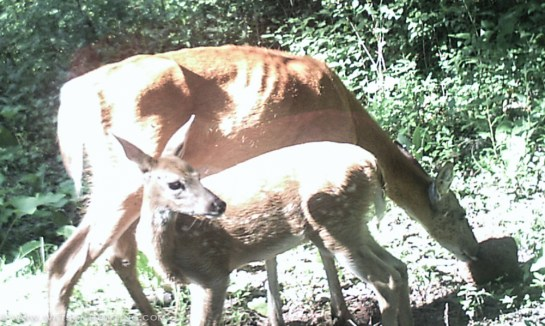 72913 - trail cam doe fawn