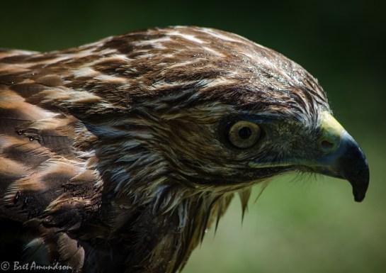 81613 - hawk close up wet