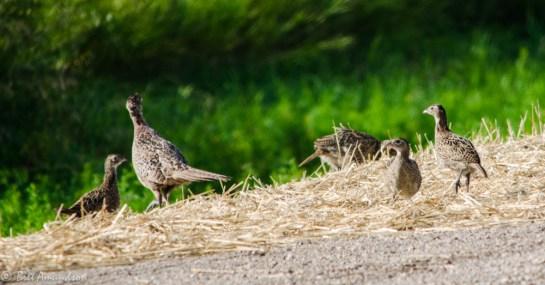8613 - pheasant brood