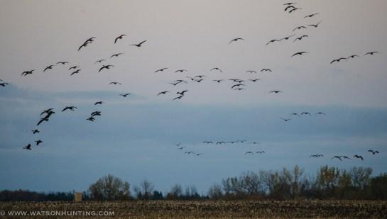 101513 - geese landing field