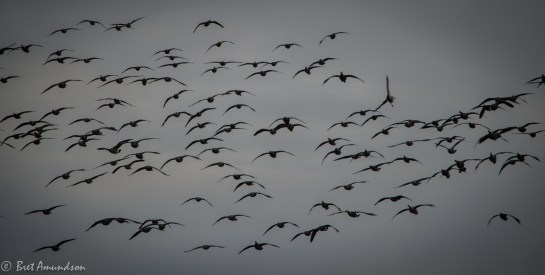 112113 - mp geese-4