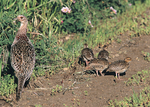 122413 pheasant roadside counts down