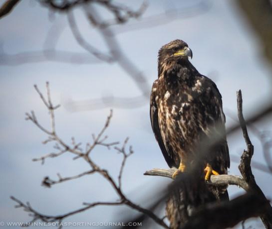 31614 - lqp dam geese eagle-8