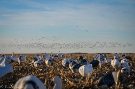 31714 - snow goose sd day 2-6