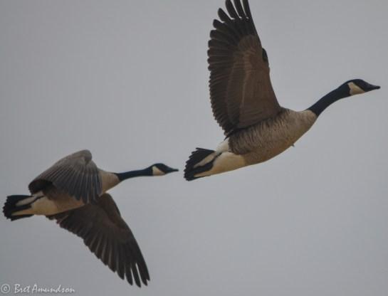 31814 - snow goose sd day 3 pintails wigeon canada mallard-25