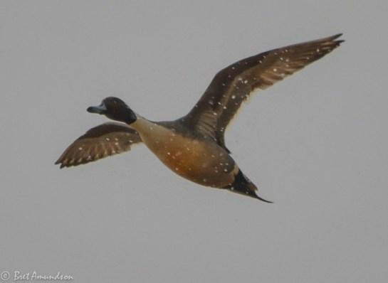 31814 - snow goose sd day 3 pintails wigeon canada mallard-57