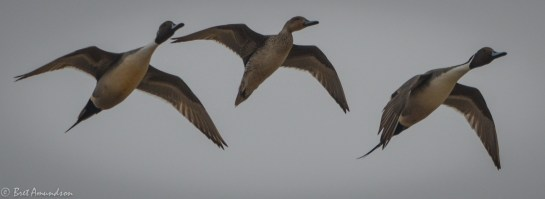 31814 - snow goose sd day 3 pintails wigeon canada mallard-7