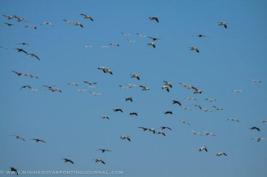 31914 - sd snow geese ducks mallards pintails-21
