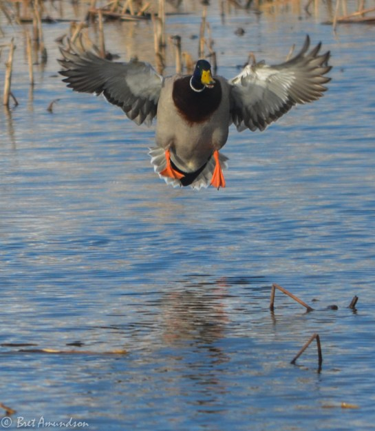 31914 - snow goose sd day 4 pintails merganser canada mallard bluebills redheads-13