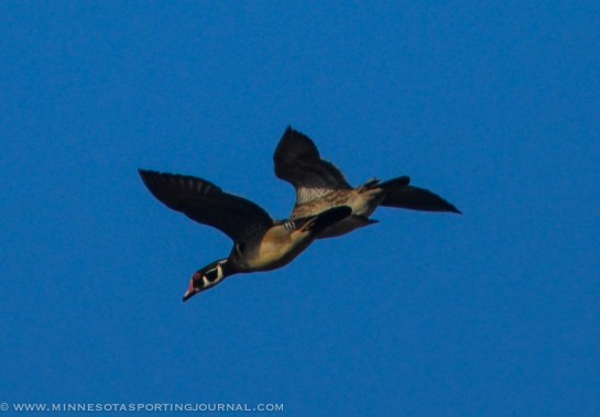 A pair of woodies buzz around the area