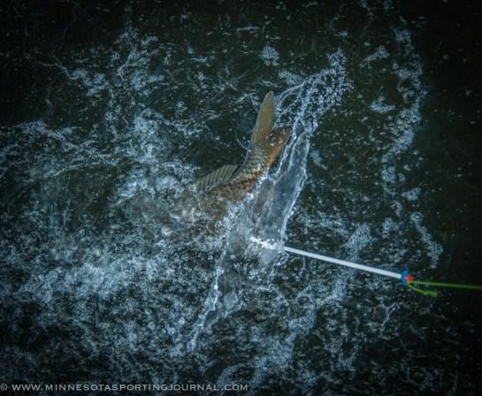 61014 - bowfishing carpe diem curt wells_-4
