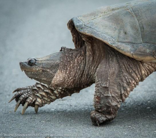 61114 - turtle bowfishing curt wells-4