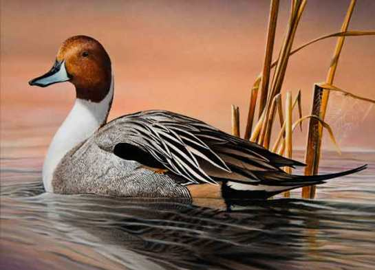 A Northern Pintail painted by David Chapman of Minnetonka was featured on the 2013 Minnesota Migratory Waterfowl Stamp.