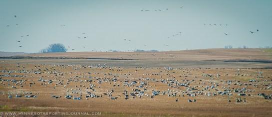 11114 - snow geese field