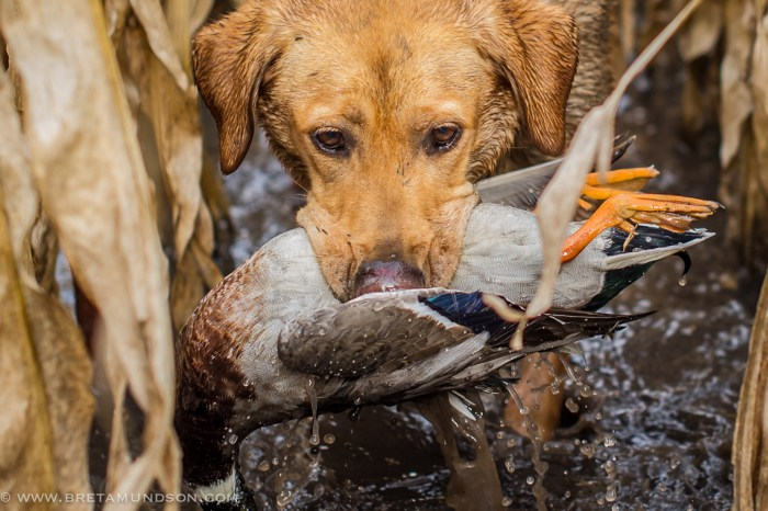 "Bret Amundson's lab ""Mika"" retrieves a drake mallard. (Bret Amundson/Sporting Journal Radio)"