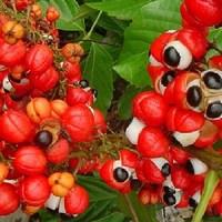 Le guarana puissant stimulant et aide minceur ?