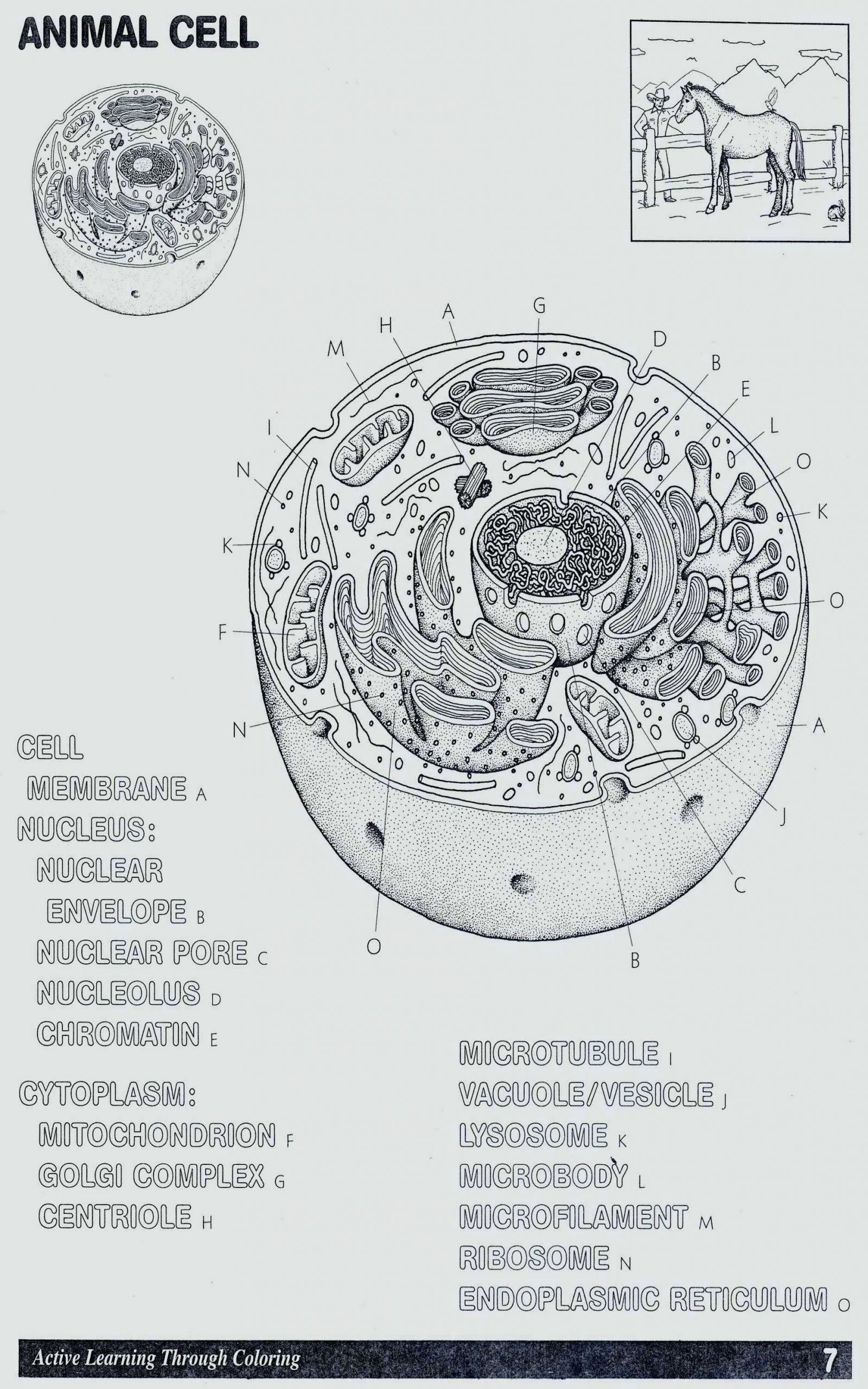 20 Cell Organelle Coloring Worksheet
