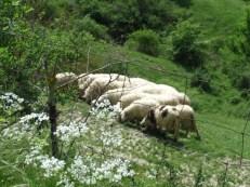 Ovelhas Toscanas