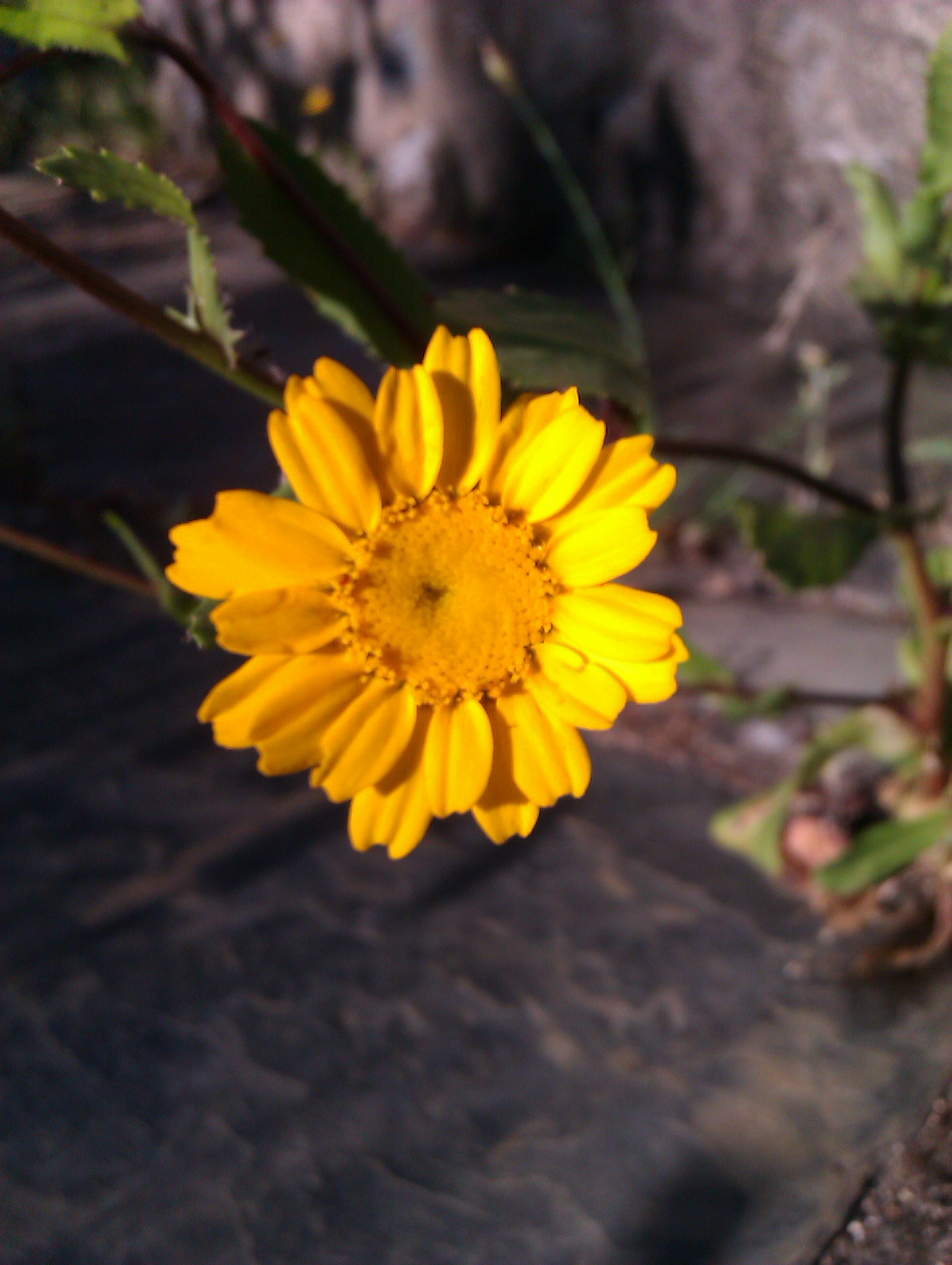 Arnica – a homeopathic remedy for sports-injuries