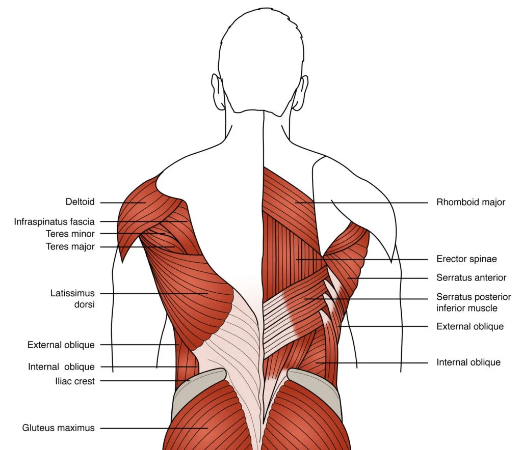hight resolution of figure 3 anatomy of the primary low back muscles used in rowing
