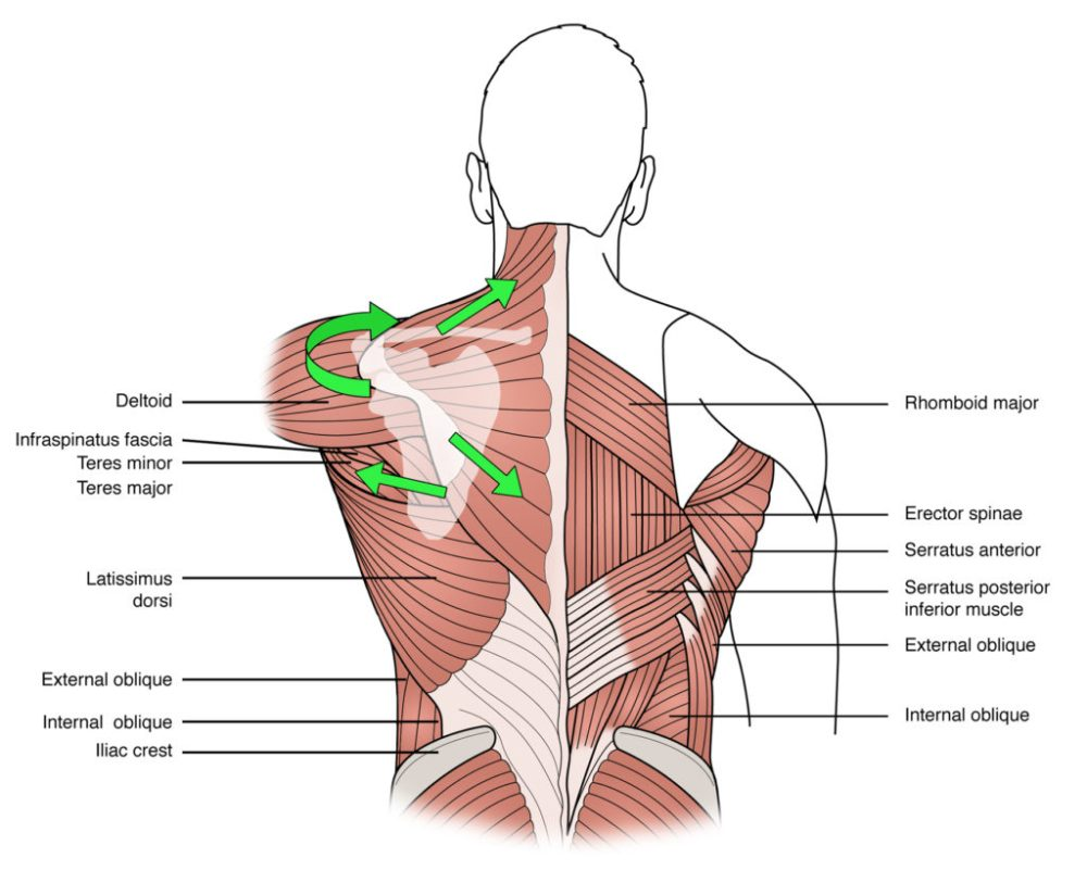 medium resolution of figure 2 the anatomical lines of action of the component fibres of the trapezius