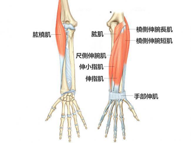 肱橈肌 Brachioradialis | 運動星球 sportsplanetmag