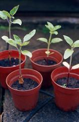 Sunflower seedlings via photopin (license)