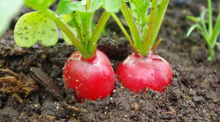 Culturi de toamna in solar: 6 legume pentru salate crocante