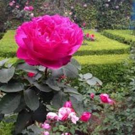 trandafiri_urcatori_yves_piaget2