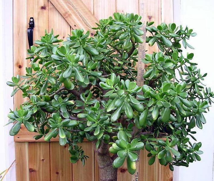 plante la interior copacul cu bani