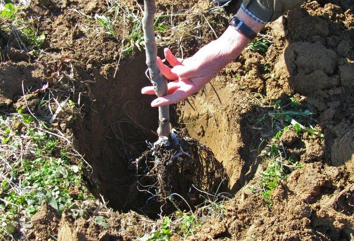 4 motive pentru plantarea pomilor fructiferi toamna şi paşii de lucru