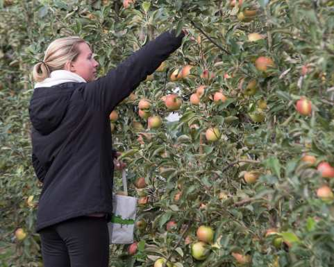 apples web-5082