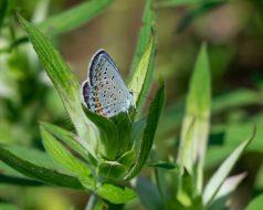 karner blue-5027