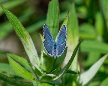 karner blue-5046