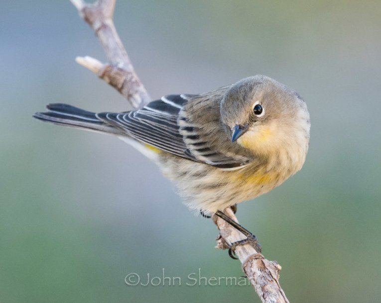 Verm-Yellow-rumped-Warbler-backyard-729606-960x765