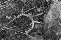 Deer Antler, Superior National Forest
