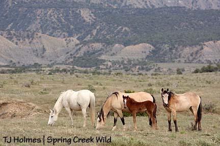 Steeldust\'s mares and foals