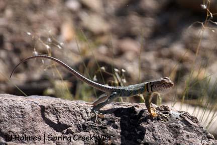 Baby collared lizard