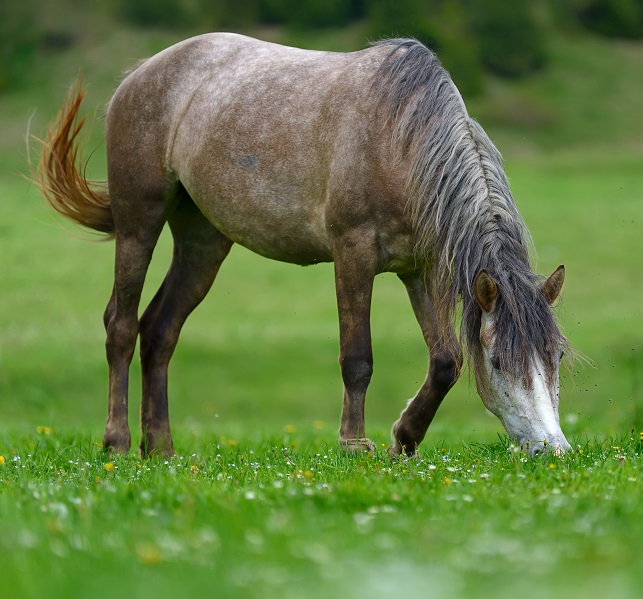Green Grass and Laminitis