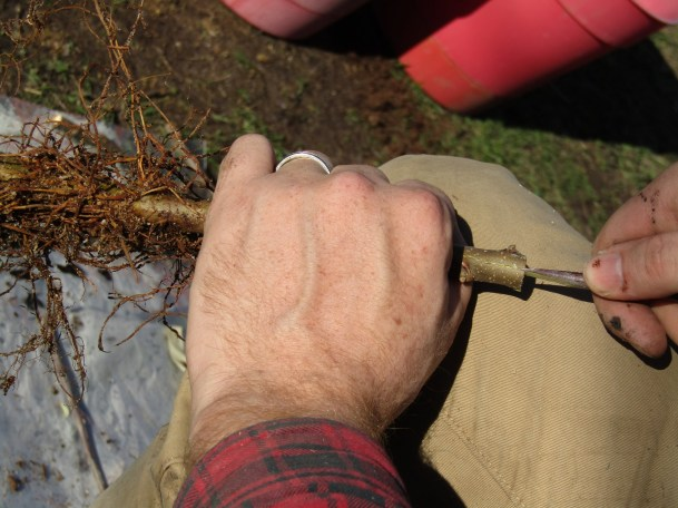 Root Stock and Tree Grafting